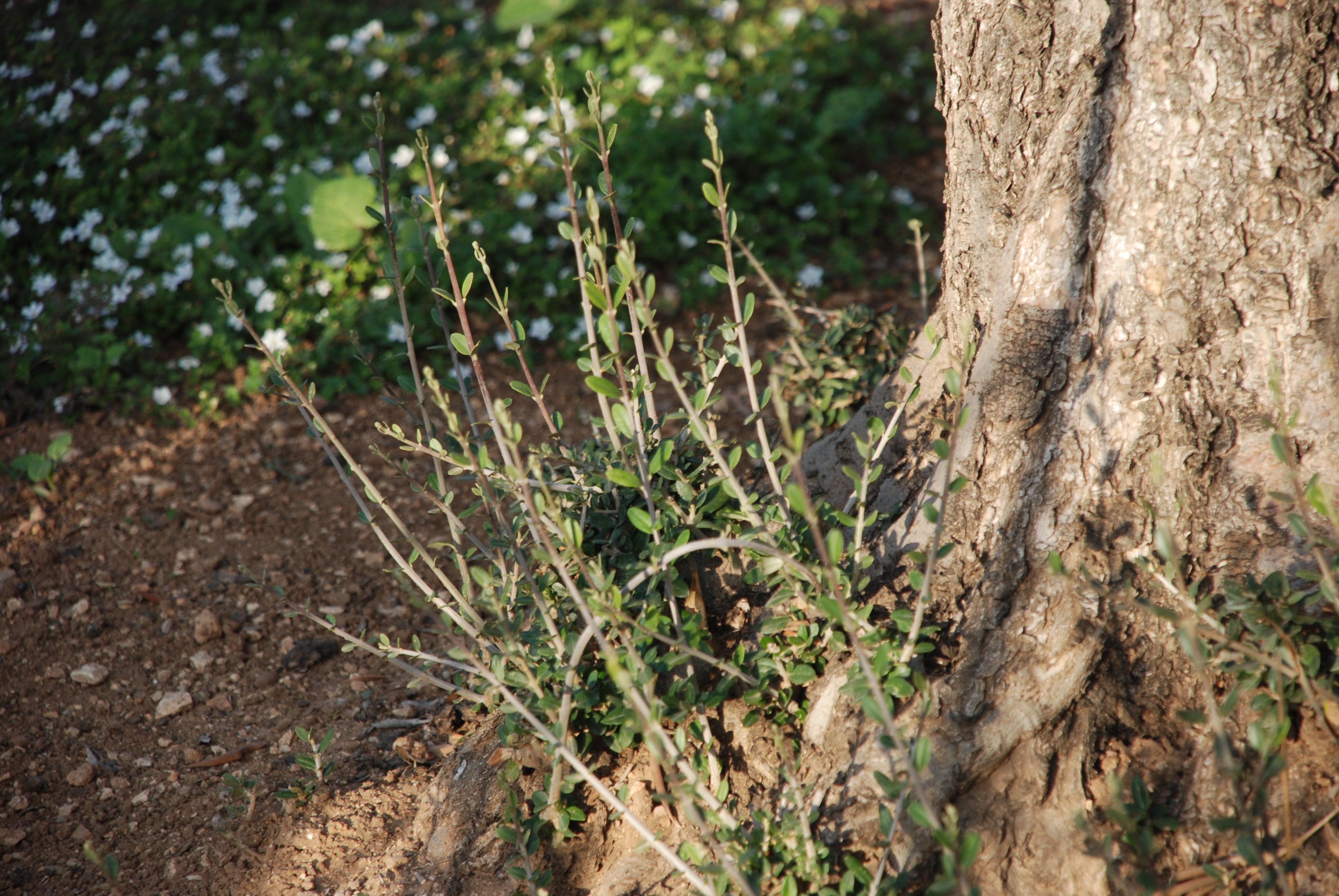 Image result for olive shoots